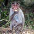 Stock Photo: Bonnet Macaque
