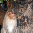 Bonnet Macaque — Stock Photo