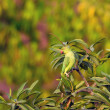 Stock Photo: Rose Ringed Parakeet