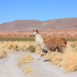Llama in Bolivian altiplano — Stock Photo