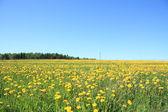 Yellow taraxacum — Stock Photo