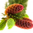 Pine branch with cones on a white background — Stok fotoğraf #5516664