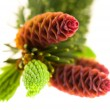 Pine branch with cones on a white background — ストック写真