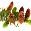 Foto Stock: Pine branch with cones on a white background