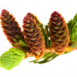 Pine branch with cones on a white background — Stockfoto #5516774