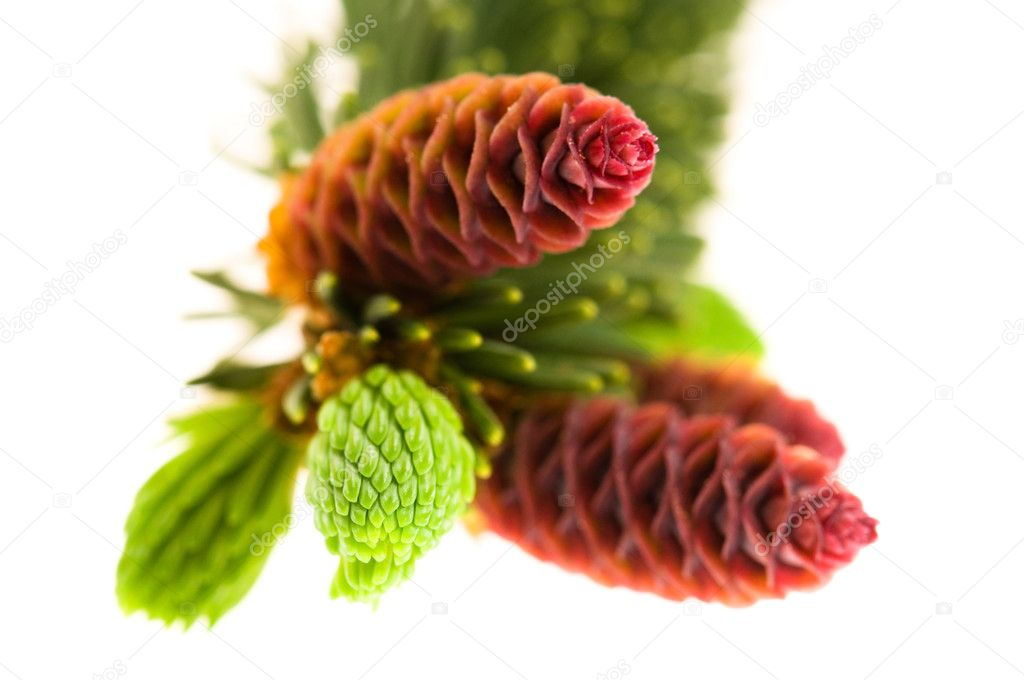 Pine branch with cones on a white background  Stock Photo #5516664