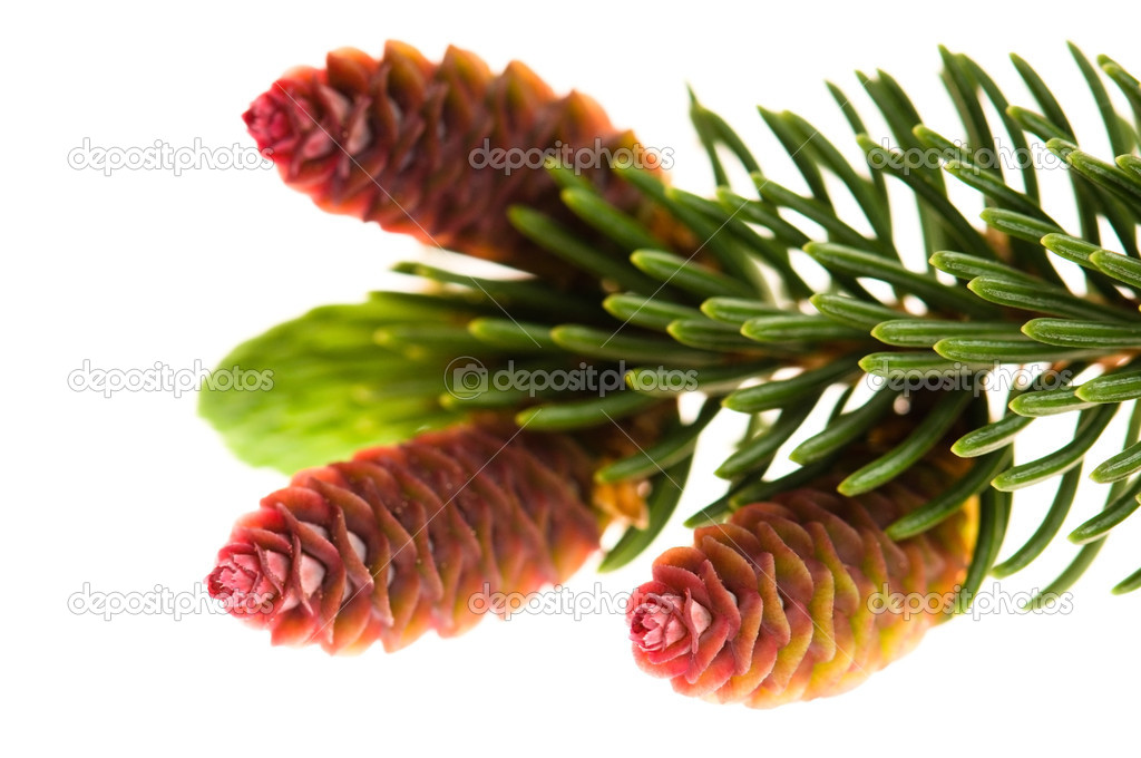 Pine branch with cones on a white background — Photo #5516705