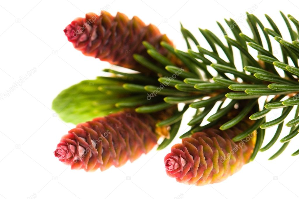 Pine branch with cones on a white background — Stok fotoğraf #5516705