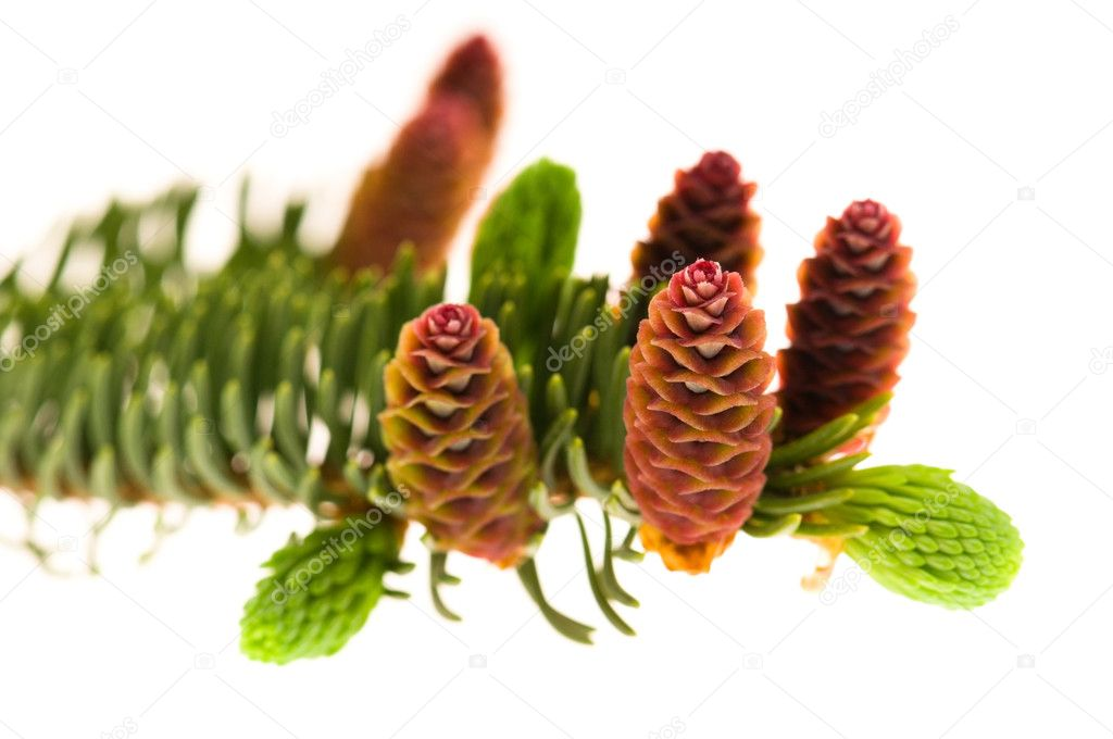 Pine branch with cones on a white background    #5516729