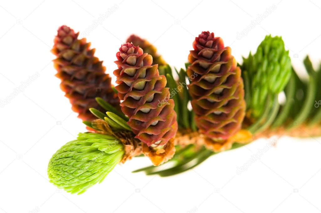 Pine branch with cones on a white background — Stock Photo #5516774