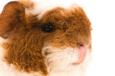 Baby guinea pig — Stock Photo