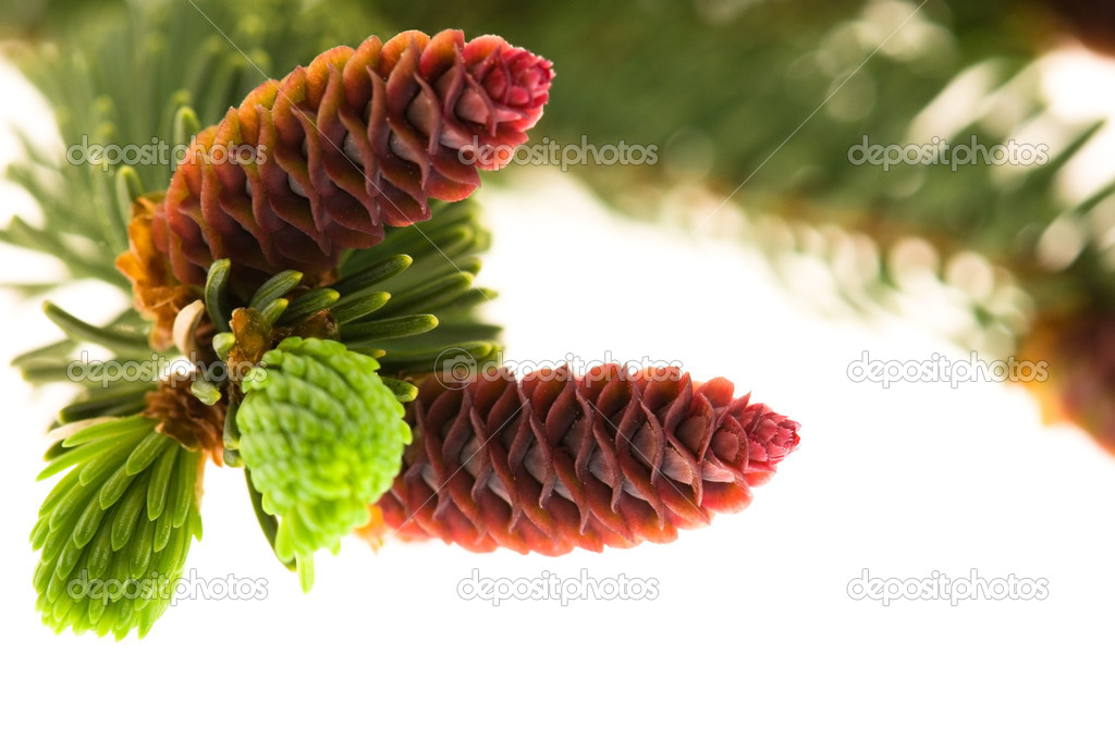 Pine branch with cones on a white background — Stok fotoğraf #5641853