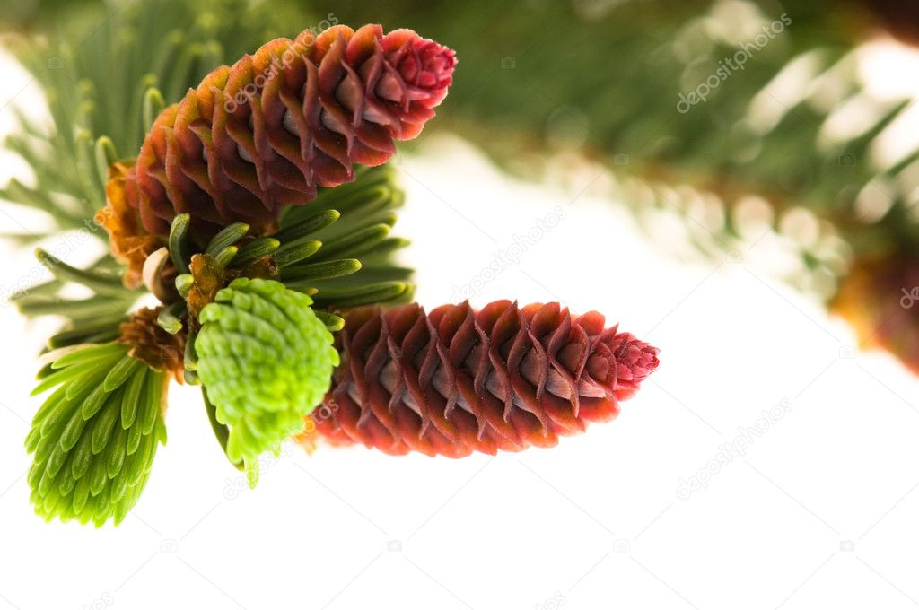 Pine branch with cones on a white background  Foto de Stock   #5641853
