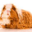 Long hair guinea pig — Stock Photo
