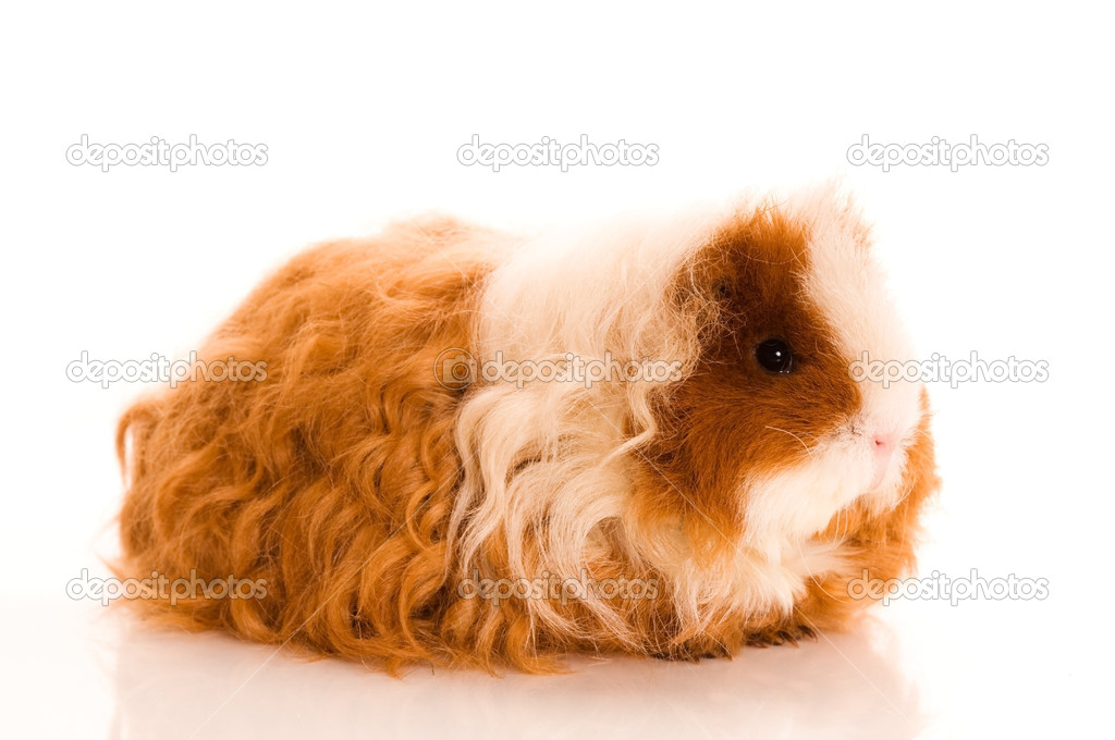 Long hair guinea pig isolated on the white background — Stock Photo #5753938
