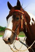 Headhorse — Stock Photo