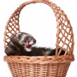 Ferret in wattled basket — Stockfoto