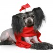 Black Chinese Crested Dog in red scarf — Stock Photo #5408167