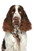 English Springer Spaniel. Close-up portrait — 图库照片