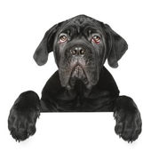 Cane Corso puppy gets out of the box — Stock Photo