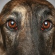 Russian Borzoi dog. Head profile close-up portrait - Stock Photo