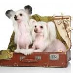 dos perros crestados chinos se encuentra en la vieja maleta — Foto de Stock