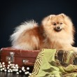 Постер, плакат: German Spitz dog