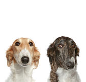 Russian Borzoi puppies (5 months) — Stock Photo
