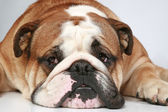 English bulldog lying on grey background — Stock Photo