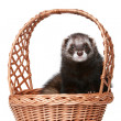 Ferret sitting in basket - Stock Photo