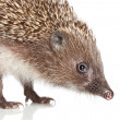 Hedgehog. Close-up portrait — Stock Photo