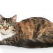Striped cat on a white background — Stock Photo