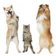 Two dogs and cat stand on hind legs — Stock Photo #5656348