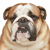 English bulldog. Close-up portrait — Stock Photo