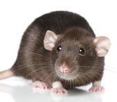 Brown Rat. Close-up portrait — Stock Photo