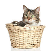 Mixed-breed cat in wattled basket — Stock Photo