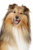 Shetland sheepdog on a white background — Stock Photo