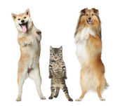 Two dogs and cat stand on hind legs — Stock Photo