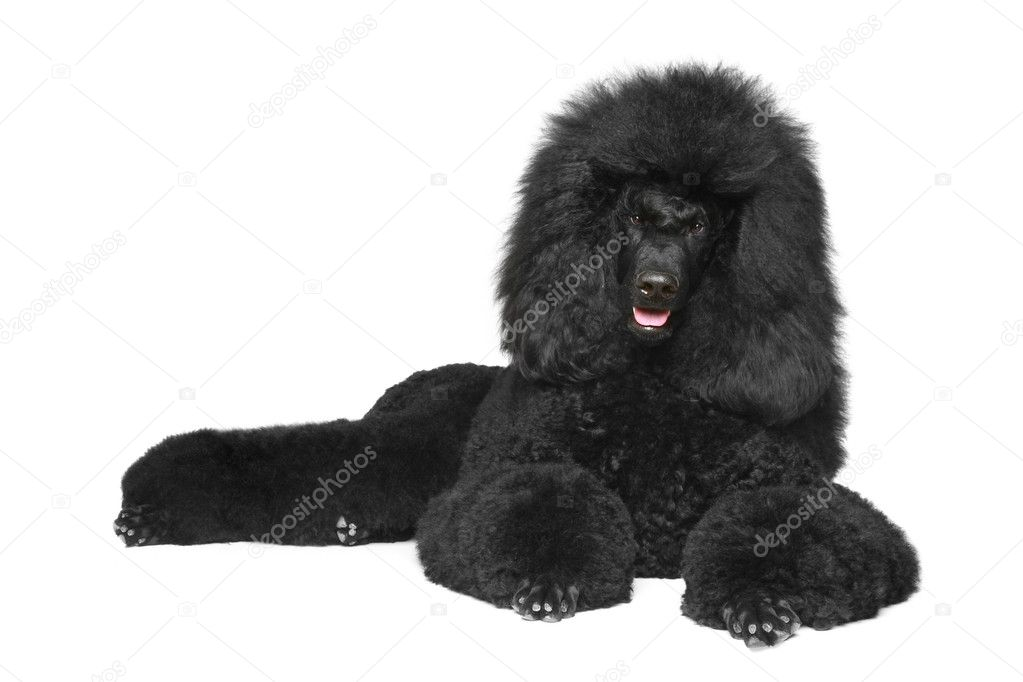 Black Royal poodle lying on a white background  Stock Photo #5655859