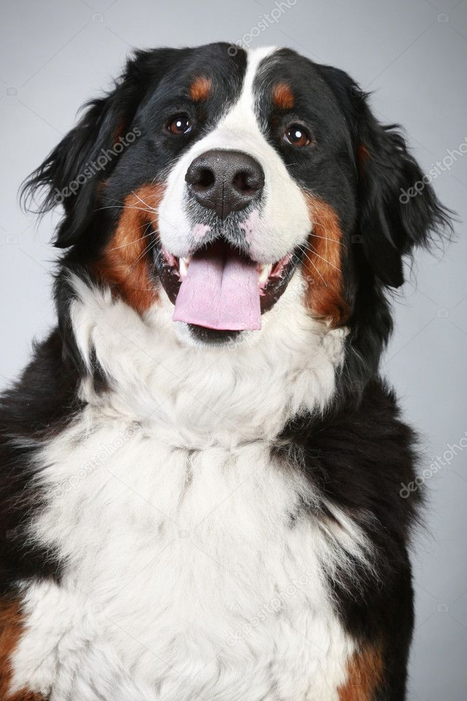... Dog Close Up Portrait Stock Photo Fotojagodka | Dog Breeds Picture