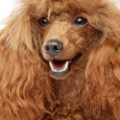 Red toy poodle puppy Close-up portrait — Stock Photo