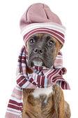 Germany Boxer puppy in warm hat and scarf — Stock Photo
