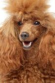 赤いグッズ プードルの子犬のクローズ アップの肖像画 — ストック写真