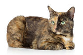 Tortoise-colored cat on a white background — Stock Photo