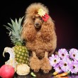Toy Poodle in fruits, against a dark background — Stock Photo #5837229