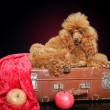 Red poodle on a dark background — Stock Photo