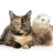 Cat and ferret on a white background — Stock Photo
