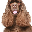 American cocker spaniel Close-up portrait - Stock Photo