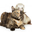 Cat and ferret plays on a white background — Stock Photo