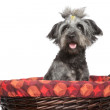 Mixed breed dog in wattled basket — Zdjęcie stockowe